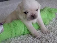 This is blue collar, he is an AKC white purebred pug