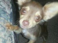 I have three adorable, pure bred, male, chihuahua
