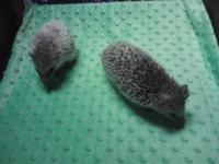 We have some of the sweetest Hedgehogs for sale. We are