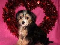 Adorable little Morkie-Poo young puppies are prepared