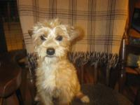 This one year old Yorkie/Poo male is small...only 6-7