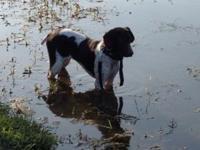 13 month old female short hair pointer she has just