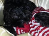 Sweet N Sassy Female yorkie poo is ready for a new