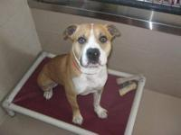 BUDDY, IS A SUPER SWEET 9 MONTH PURE PIT BULL MALE .
