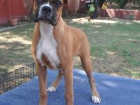 "Champion bloodlines ""Cayman Boxers"" puppy for sale!"