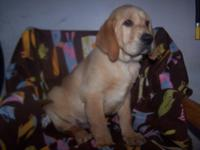 AKC Yellow Fox Red Male and Yellow Female Labrador