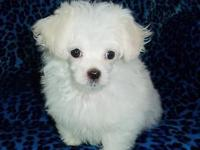 I have a precious AKC registered Maltese male puppy who