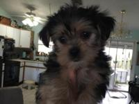 Beautiful little Morkie ready to go home. He has had