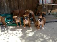 We have the Most Cutest Adorable Boxer Puppies for