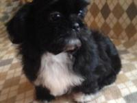 Sweetest little Shih Tzu male puppy who is ready to