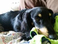 Molly is a precious black & cream 3yr old Dachshund who