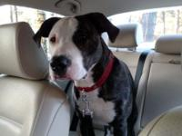 Rehoming 1yr old male neutered Pitt Bull. He's up to
