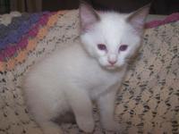 Ragamese (Ragdoll/Siamese cross) Kittens who have the