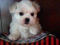 "This little guy is 1/2 Bichon and 1/2 Shih Tzu ""Teddy"