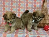 PEEK-A-POM Puppies: one male and female available -8wk.