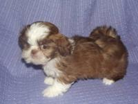 I have one small brown and white chocolate shih tzu