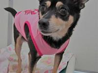 Sweetie's story Sweetie appears to be a Chihuahua mix.