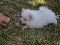 Sweetie Male and female Pomeranian puppies. I really