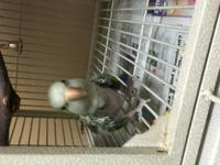 Sweetie is an adult female Quaker parrot. She is a long