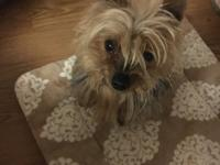 Sweetie is a  5 yo Yorkie.  He's very gentle and would