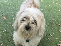 Sweetie here! I am a 11 year old Shih Tzu mix. I came