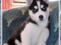Animal Type: Dogs Adorable Siberian husky puppies are