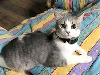 Sweetums's story Sweetums, DSH Neutered male gray and