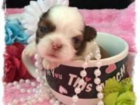 """Sydney"". AKC registerable Shih Tzu puppies. Mom is"