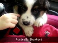 Australia Shepherd. Never ever been outside. 7 weeks.