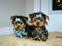 Tea-cup Yorkie ready for new home. male $300.00 and