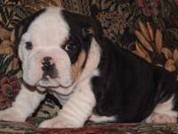 T-Bone is a black tri male English Bulldog puppy with