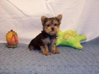 Cute! Cute! Yorkie boy. He's ready to go. He will be in