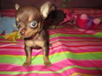 T CUP CHIHUAHUA we r now taking deposits on our t-cup