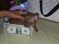Extra tiny Chihuahua puppy ,utd shots,she is apple head