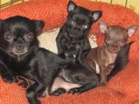 T-CUP CHIHUAHUA ONE MALE CHOCOLATE ONE FEMALE MALE