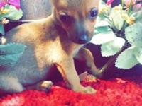 have 2 male 1 female tiny chihuahua puppies 3mos
