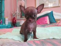 T CUP CHIHUAHUA ONE MALE CHOCOLATE ONE VERY TINY APPLE