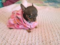 T CUP CHIHUAHUA we r now taking deposits puppy to
