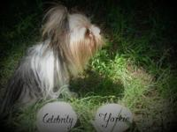 Celebrityyorkie is expecting a litter of t-cup yorkies