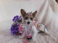 T-Cup Parti Yorkie! AKC {limited} This Tiny Little Girl