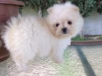 T cup maltepom female puppy . She is tiny and playful 8