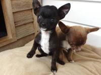 1 pre-spoiled t-cup chihuahua puppy left. Born in April