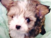 We have a 10 week old female Morkie. Shes half yorkie