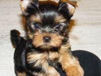 They are stunning little Yorkie puppies, cute and
