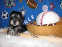 T-Cup (Yorkie) Puppies Text at (647) 794-6892 Tiny