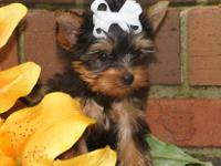 Emily is a darling sweetie Yorkie. She's so funny to