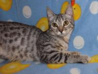 Female Silver Spotted Bengal D.O.B : 2/24/14 this