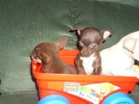 Here they are! 3 tiny chihuahua babies that will be 2-3