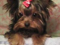 Lovely little Yorkie children with personalities plus