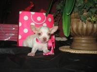 Check out this lovely female chihuahua puppy.She is a